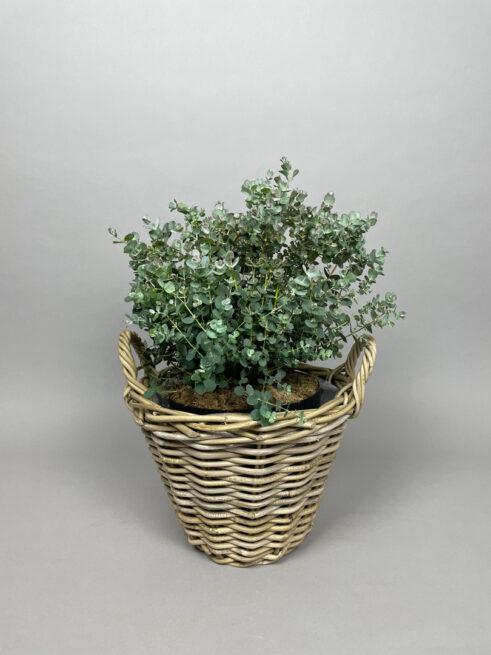 Eucalyptus 'Gunnii'