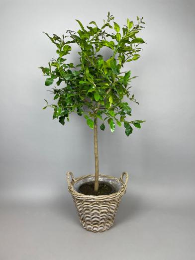 Kaffir Lime 'Hystrix' - 120-130cm