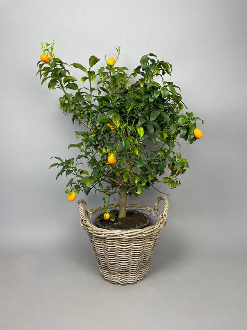 Kumquat – Fortunella Margarita