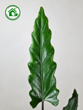 Alocasia 'Lauterbachiana' 60-70cm