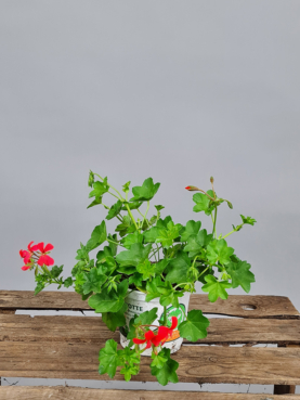 Tyroler Pelargonie