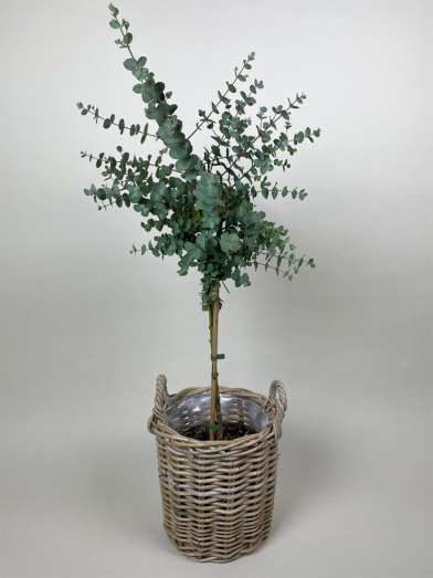 Opstammet Eucalyptus 'Gunnii' - 90-100cm