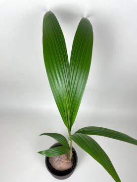 Kokospalme 'Cocos Nucifera' 110-130cm