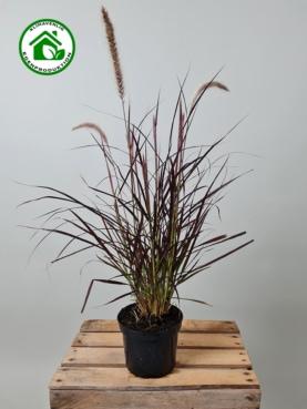 Lampepudsegræs 'Rubrum Pennisetum'
