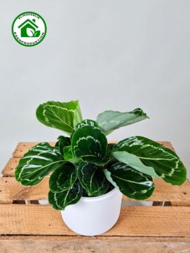 Calathea 'Jungle-Rose' 15-20cm