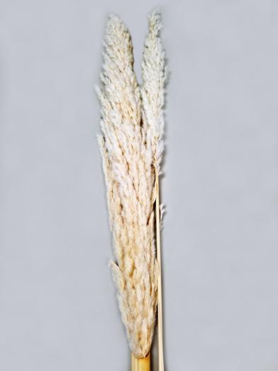 Eryanthus Hvid