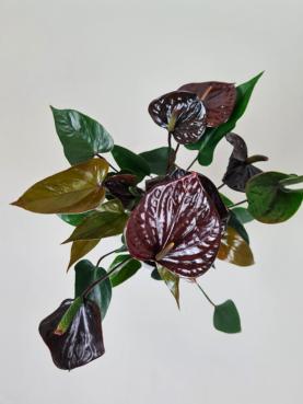 Flamingoblomst 'Bordeauxrød' 30-40cm