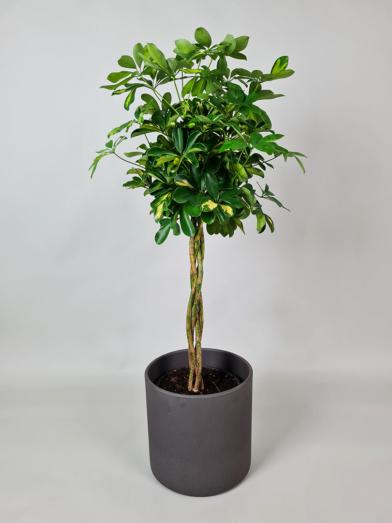 Paraplytræ 'Schefelera Gold' 110-120cm