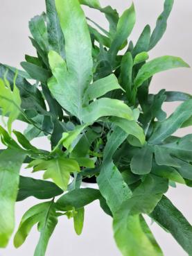 Blå bregne 'Phlebodium' 35-40cm