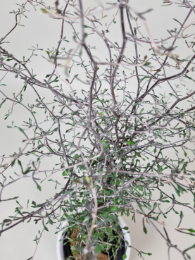 Spøgelsestræ 70-80cm