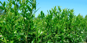 Kirsebærlaurbær - Prunus Herbergii - Prima Færdighæk