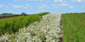 Buketspiræa - Spiraea Vanhouttei - Prima Færdighæk